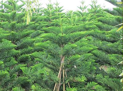 cây bách xanh