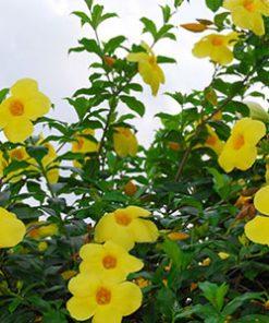cây hoa hoàng thảo