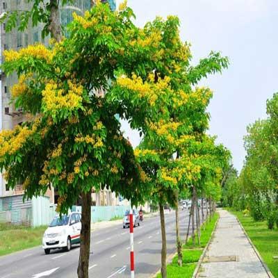 những loại cây công trình đẹp