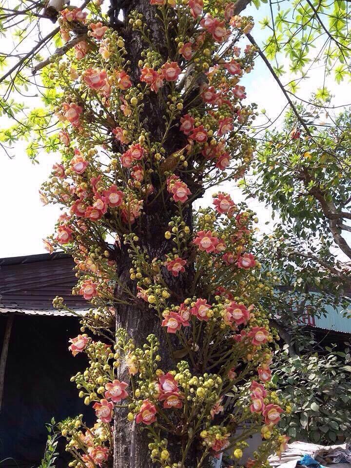 cây sa la