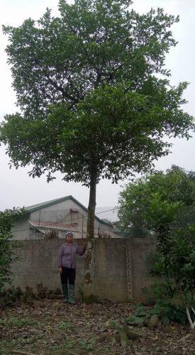 Cây chay trưởng thành đường kính 20-35cm cao 5-7m.