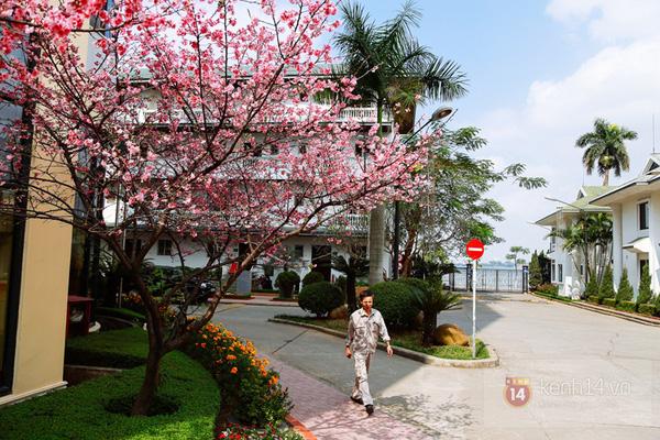 Hoa anh đào giữa lòng Hà Nôi