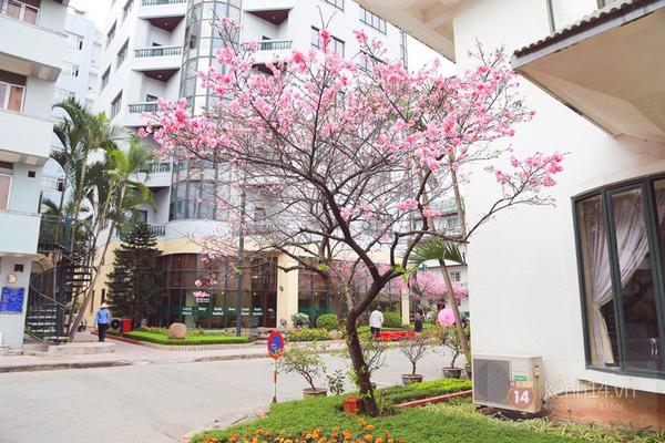 Hoa anh đào tại số 14 Phố Thụy Khuê Hà Nội