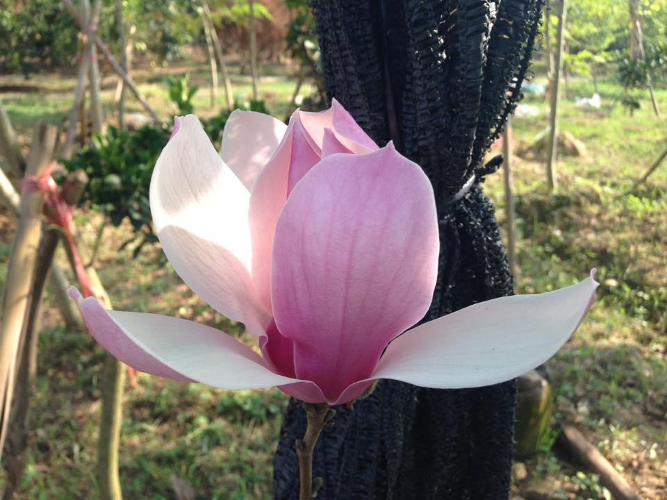 Cây hoa mộc lan