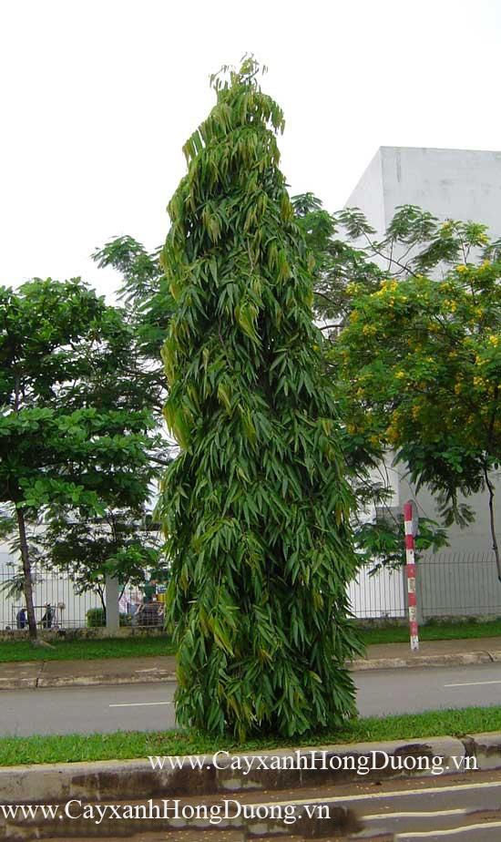 Cây Hoàng Nam trồng trong khu công nghiệp
