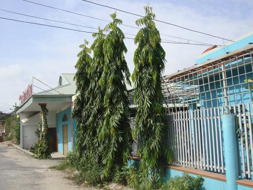 Cây Hoàng Nam