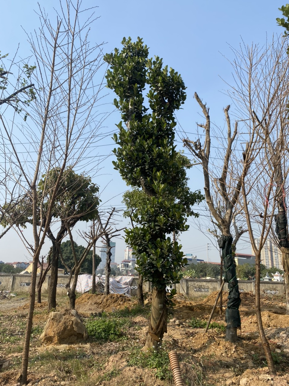 cây mít