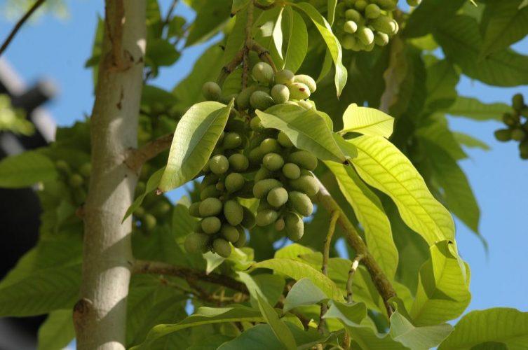 Cây Ngọc lan vàng