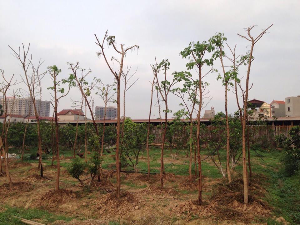 cây Osaka Hoa Vàng được ươm tại vườn cây xanh Hồng Dương năm 2017.
