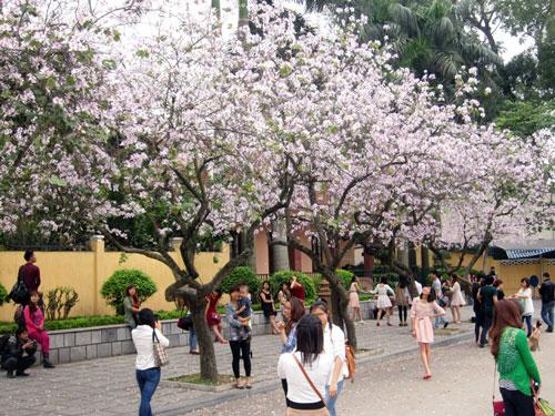 Hoa ban trên phố Bắc Sơn.