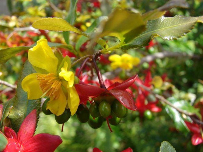 Quả và hoa mai tứ quý