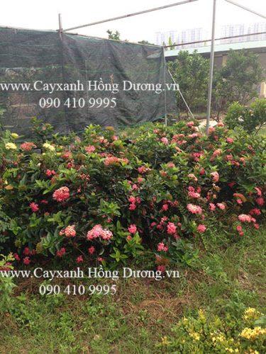 cây mẫu đơn hồng