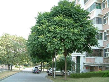 cây sấy