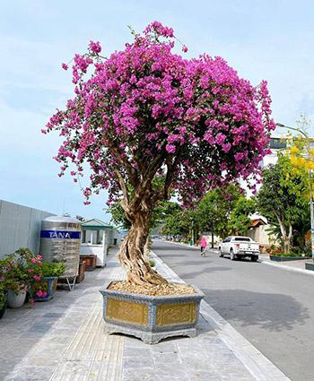 cây hoa giấy leo cổng