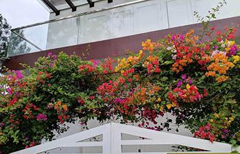 cây hoa giấy leo cổng ngũ sắc